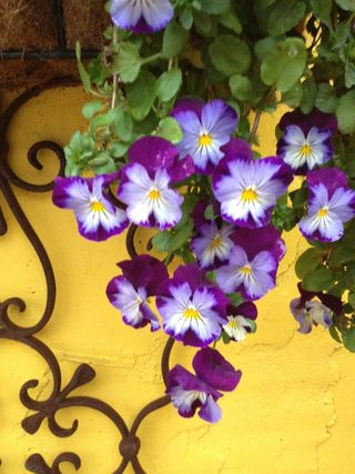 Purplepansies