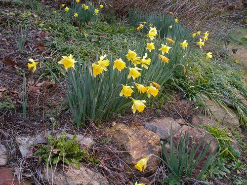 DaffodilsGarden