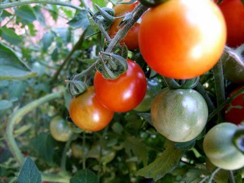 TomatoVine_adamophoto