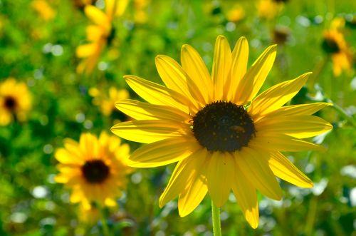 SunflowerChanceBuell