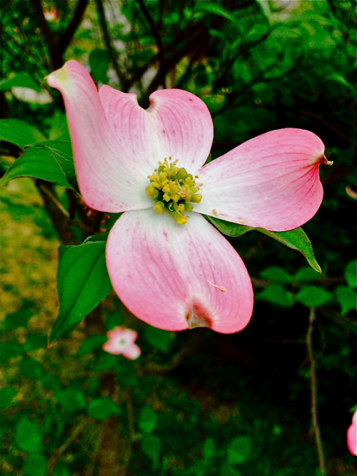 PinkDogwoodBloom