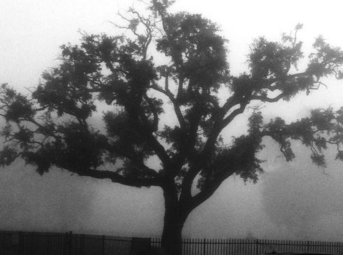 FoggyLiveOak