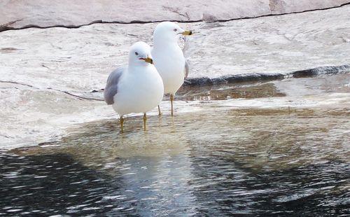 SeagullsLindsayNiles