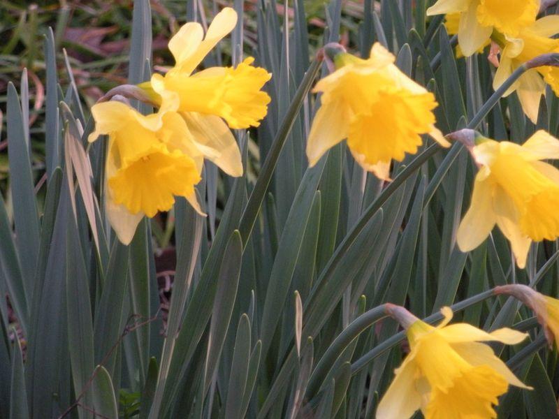 DaffodilsTight