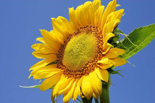 SunflowerChanceAgrella