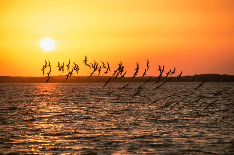 Birds skimming water freerange archives