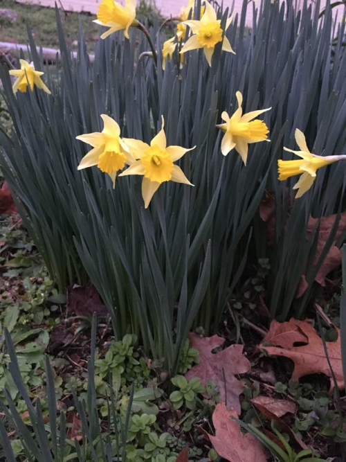 Daffodils in yard
