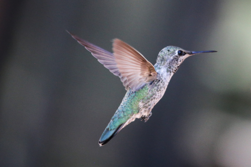 Hummingbird_Chance_Agrella