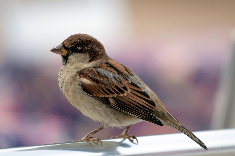 Sparrow-AleksandaroMirovic